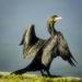 Cormorant  on 365 Project