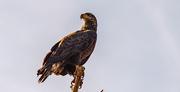 10th Dec 2020 - Young Bald Eagle!
