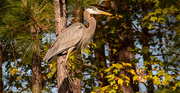 10th Dec 2020 - Blue Heron Up in the Tree!