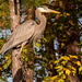 Blue Heron Up in the Tree! by rickster549