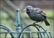 11th Dec 2020 - The starlings are back