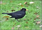 11th Dec 2020 - Bobbie blackbird