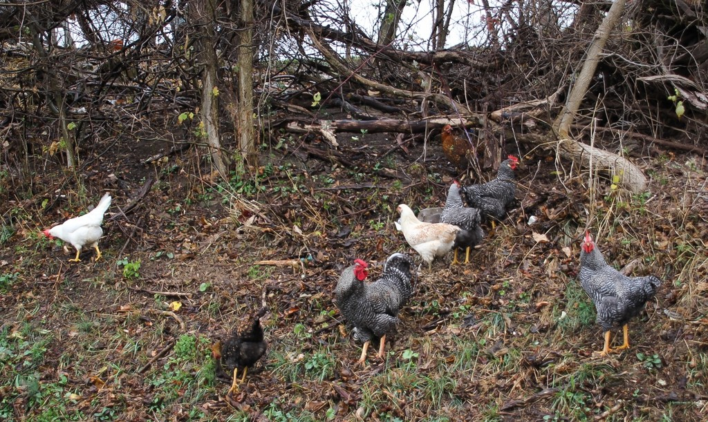 Chickens on the side of the road by mittens