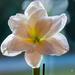 My white Amaryllis by elisasaeter