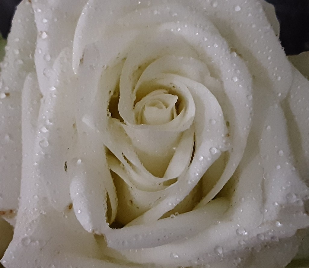 White rose by grace55