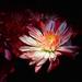 Light Flower by homeschoolmom