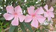 12th Dec 2020 - Pink Oleander (Nerium Oleander)