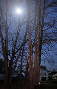 11th Dec 2020 - Moon caught in trees