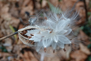 11th Dec 2020 - Milkweed seed pod