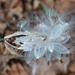 Milkweed seed pod by annepann