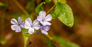 12th Dec 2020 - Still Have a Few of the Plumbago's Around!