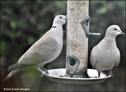 13th Dec 2020 - The doves are regular visitors