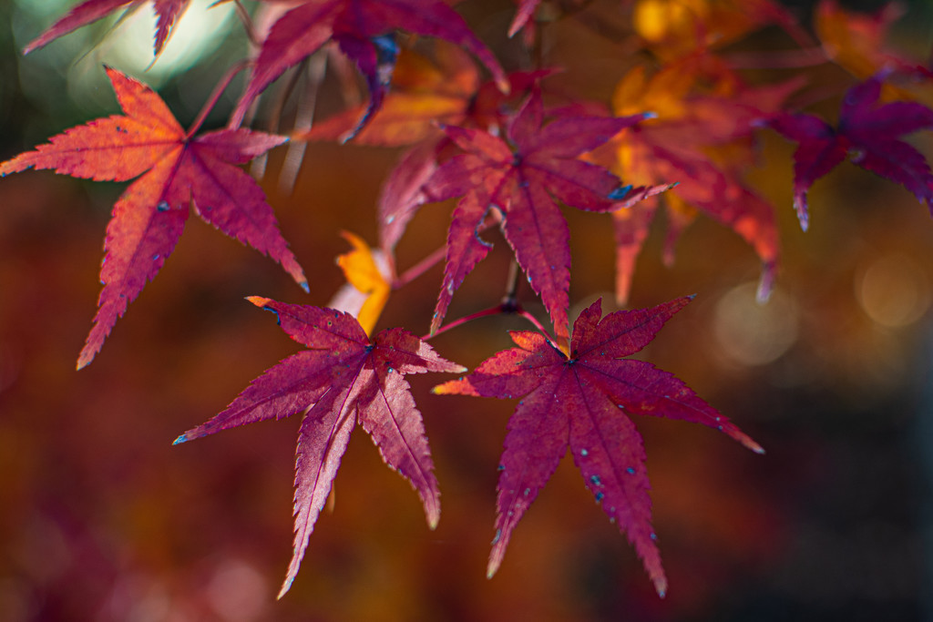 The Red Leaves... by thewatersphotos