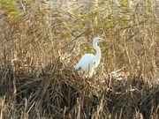 13th Dec 2020 - Hiding in the reeds