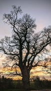 11th Dec 2020 - Sunset behind tree