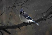 13th Dec 2020 - Blue Jay