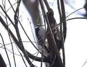 7th Dec 2020 - Woodpecker