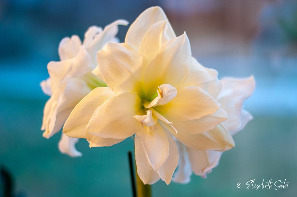 Amaryllis by elisasaeter