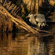 14th Dec 2020 - Grey Heron in the Golden Hour