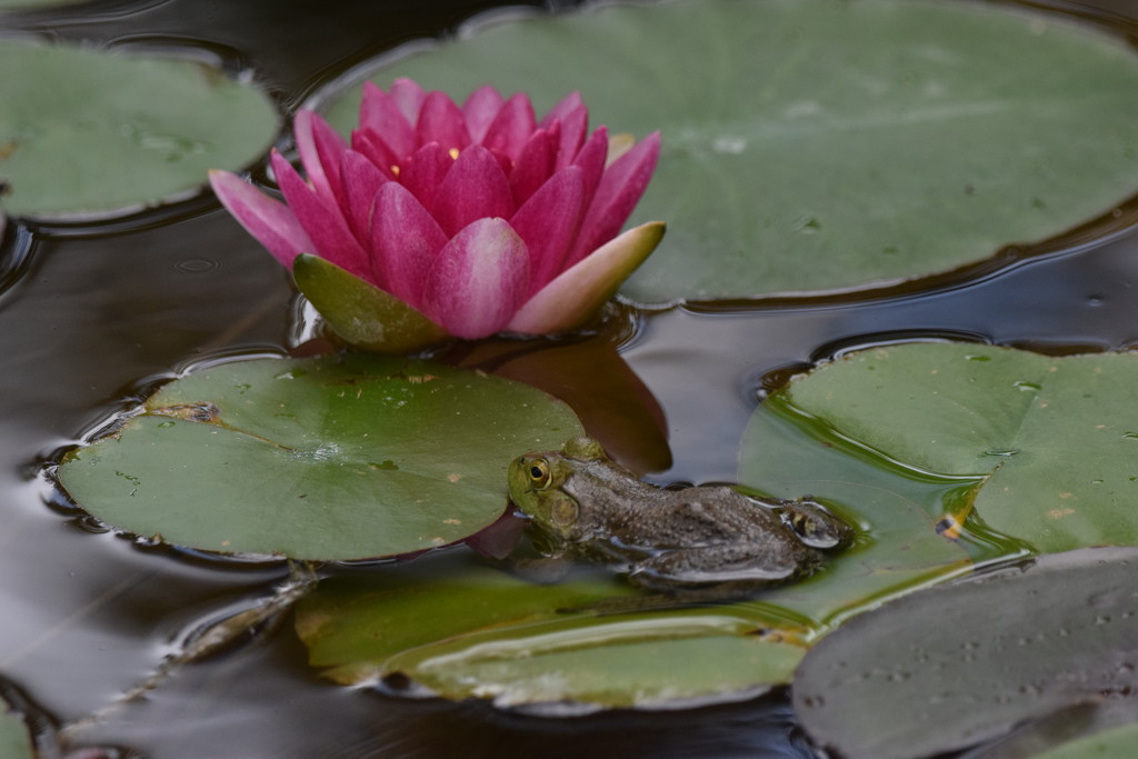 Among The Water Lilies  by flashster78