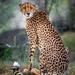 Cheetah, v 22 by jyokota