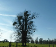 9th Dec 2020 -  December word - Outdoors.  Mistletoe