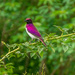 Violet Backed Starling by zambianlass