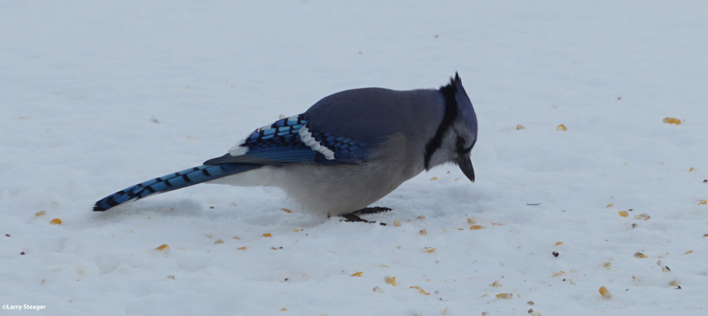 Blue Jay by larrysphotos