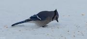 15th Dec 2020 - Blue Jay