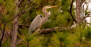 15th Dec 2020 - Blue Heron Hanging Out in the Trees Again!
