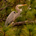 Blue Heron Hanging Out in the Trees Again! by rickster549
