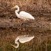 Egret Twins! by rickster549