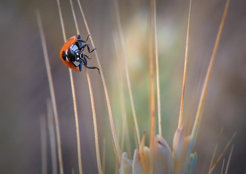Ladybird in a Barley Field by imprezoid