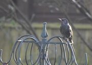 16th Dec 2020 - Yet another starling