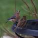 Mrs. Bluebird has a sip by berelaxed
