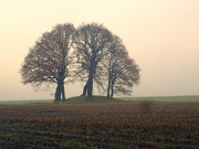 17th Dec 2020 - oak trees on a burial mound