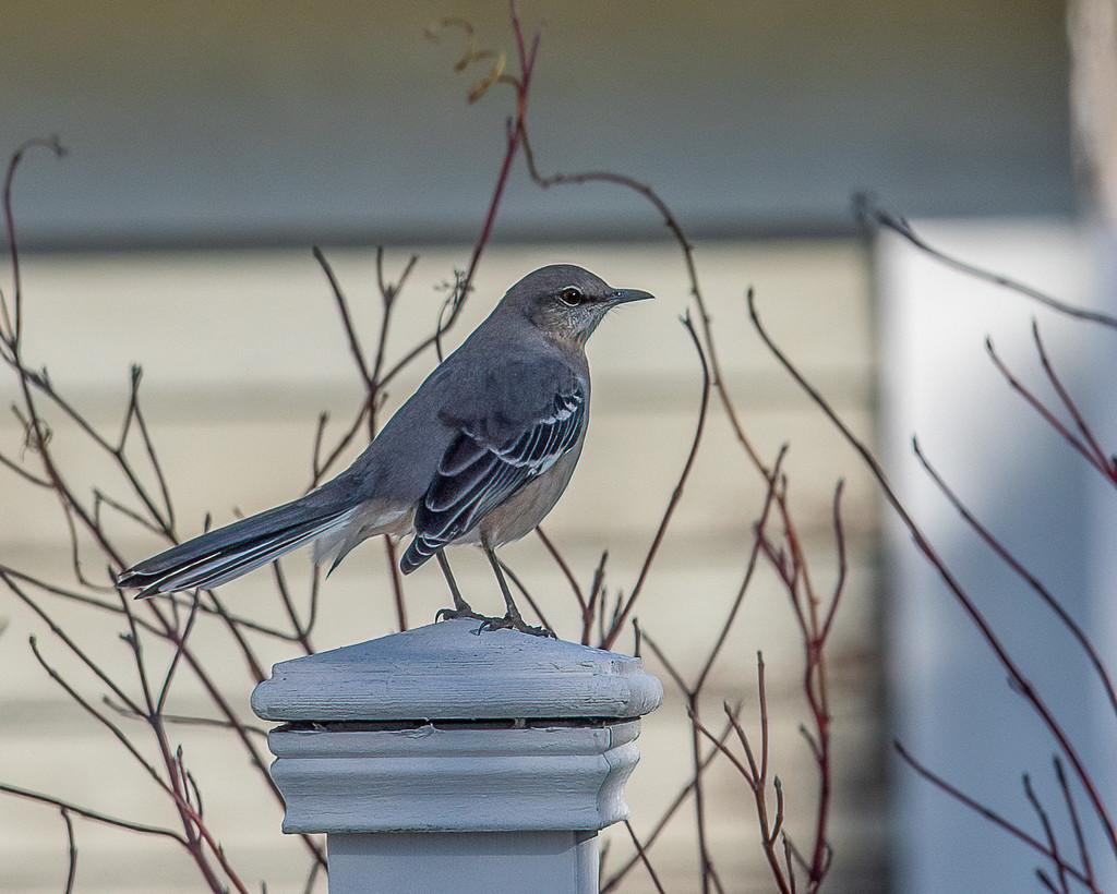 Northern Mockingbird  by nicoleweg