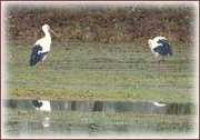18th Dec 2020 - storks