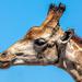 Yesterdays Giraffe by ludwigsdiana