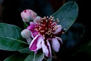 18th Dec 2020 - Feijoa flower
