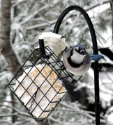 18th Dec 2020 - Blue Jay in the snow.........