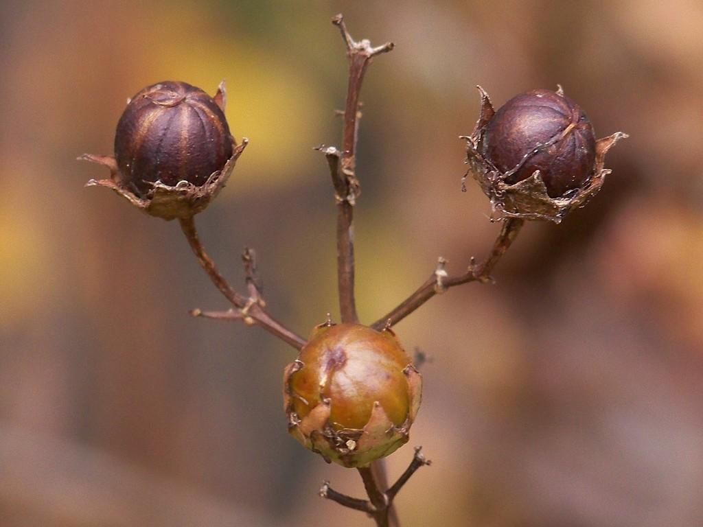 Crepe Myrtle seed balls... by marlboromaam
