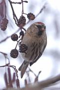 17th Dec 2020 - Common Redpoll