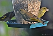 19th Dec 2020 - Two greenfinches today