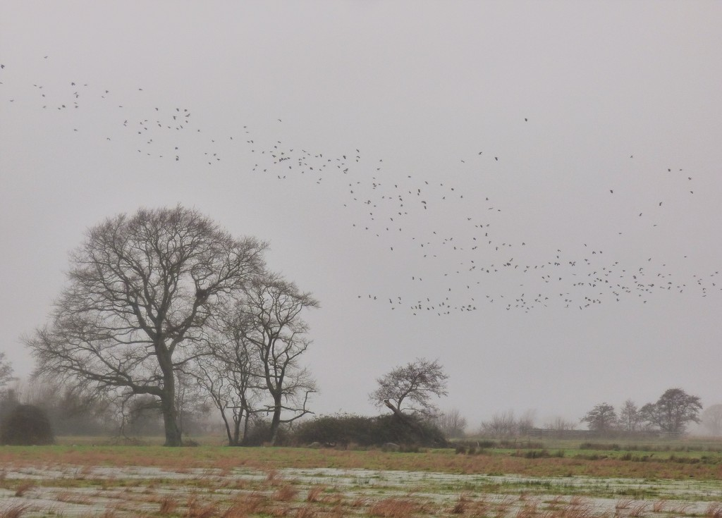 Mist, rain and Lapwings by julienne1