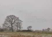 18th Dec 2020 - Mist, rain and Lapwings