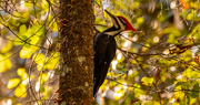19th Dec 2020 - I Like Mr Pileated's Hairstyle Better!