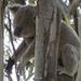 I can sleep anywhere by koalagardens