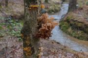 20th Dec 2020 - Attractive Fungus