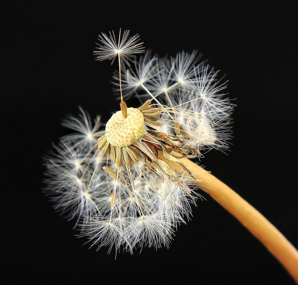 Second image Dandelion by rustymonkey
